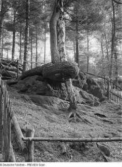 Schlangenkiefer am Großen Bärenstein
