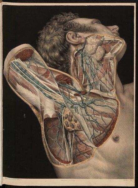 Muskellogen, Aponeurosen, Gefäße und Nerven am Hals und in der ...