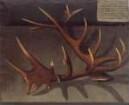 Geweih eines 46-Enders, erlegt am 31. August 1736 von Herzog Franz Josias von Sachsen-Coburg-Saalefeld