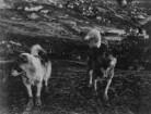 Schlittenhunde (Grönlandexpedition 1891-1893)