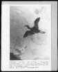 Ausschnitt: Eine fliegender Reiher